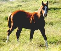 2010 Sorrel Colt