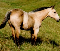 Buckskin Filly