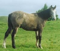 2006 Gray filly
